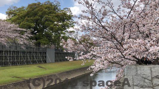 熊本城の長塀の桜