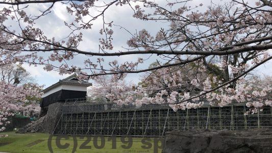 工事中の長塀の桜