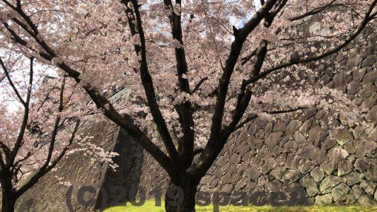 未申櫓近くの桜