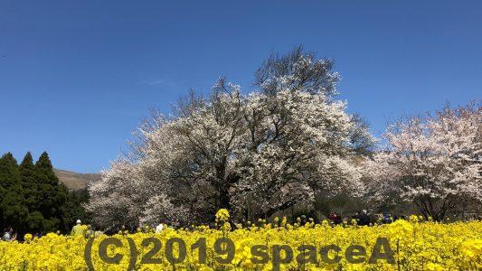 カメラにおさまらない一心行の大桜