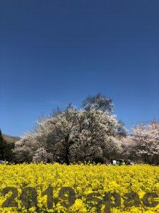菜の花と一心行の大桜