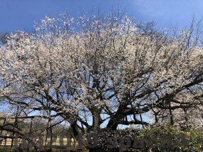 一心行の大桜を間近で