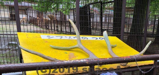熊本市動植物園のシフゾウのツノ
