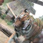 熊本市動植物園のトラ